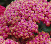 Achillea millefoilum 'Pretty Woman'