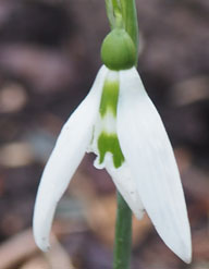 Galanthus 'Wisley Magnet'