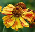 Helenium 'Ring of Fire'