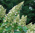 Hydrangea paniculata 'Great Escape'