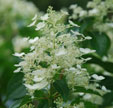 Hydrangea paniculata 'October Bride'