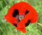 Papaver commutatum 'Lady Bird'